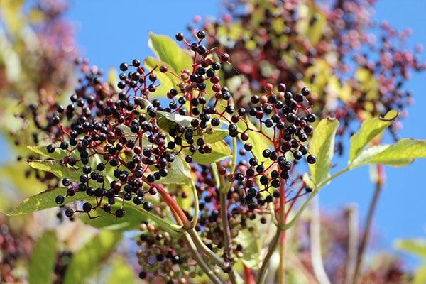elderberry-good-for-you
